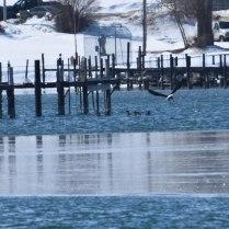 Eagle-Ducks-