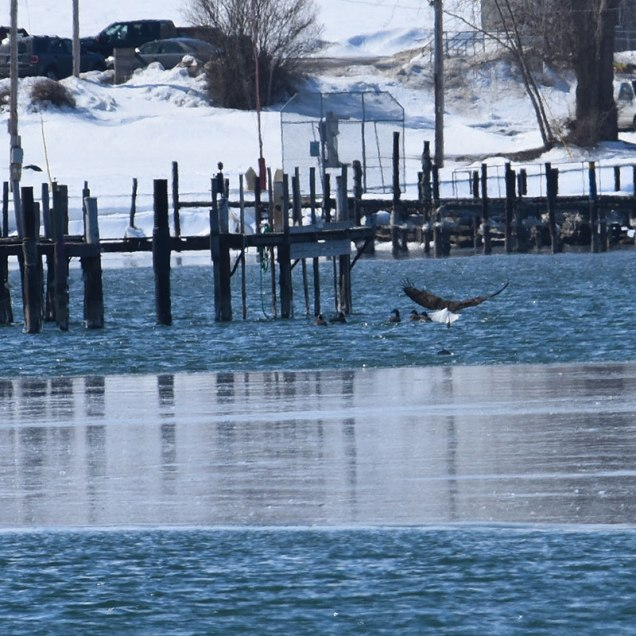 Eagle-LostFish-Ducks