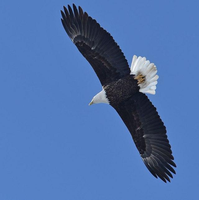 Eagle-Overhead