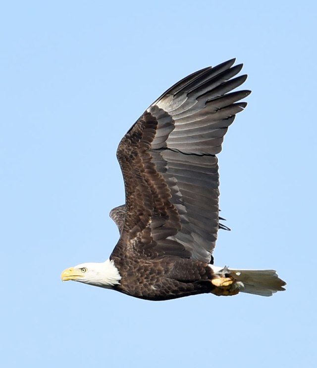 Eagle-with-Dinner