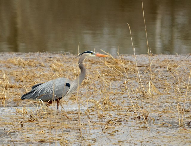 Great-Blue-Heron-0