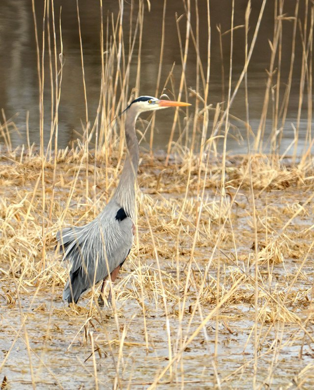 Great-Blue-Heron-3