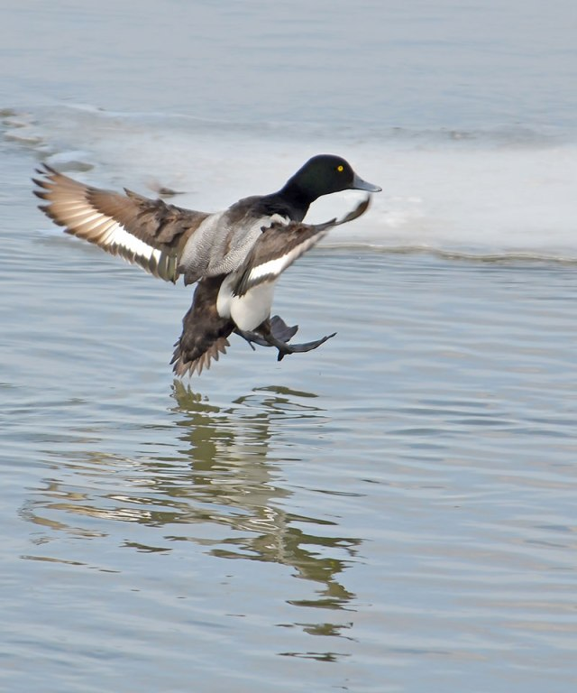 Incoming-Scaup