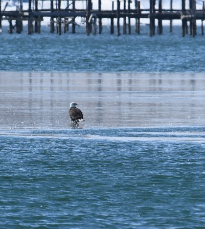 Lone-Eagle-on-Ice