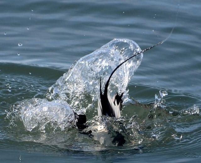 Longtail-Dive