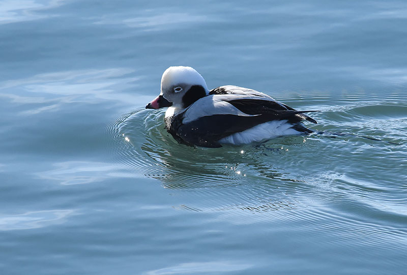 Better Off Dead >> Long-tailed Ducks in Dunkirk Harbor | Nature and Wildlife Pics