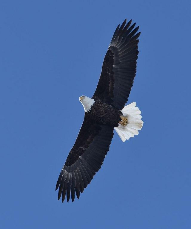 Overhead-Eagle