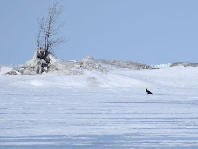 Sitting-Eagle-on-Ice