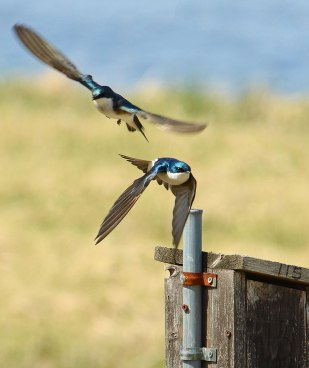 Swallows-at-Nest-Box-1