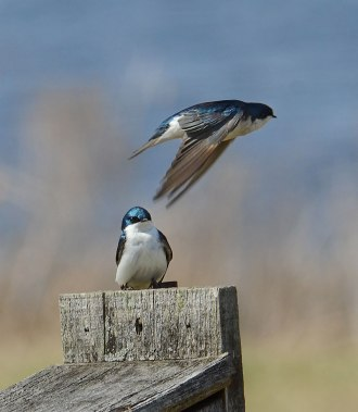 Swallows-at-Nest-Box-2
