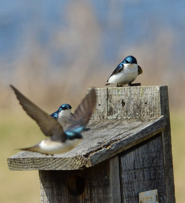 Swallows-at-Nest-Box-4