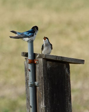 Swallows-at-Nest-Box-5