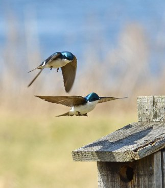 Swallows-at-Nest-Box