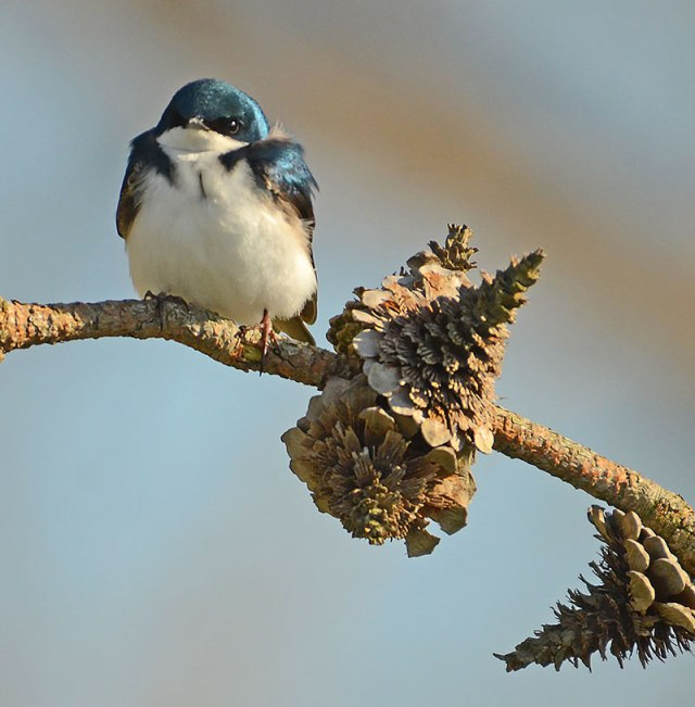 Tree-Swallow-2
