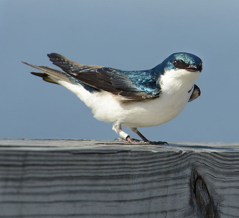 Do Birds Swallow Food Whole