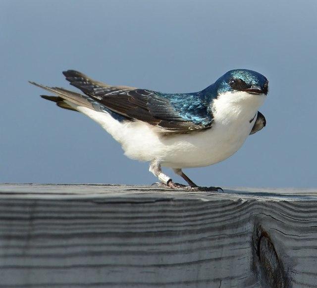 Tree-Swallow-Looking