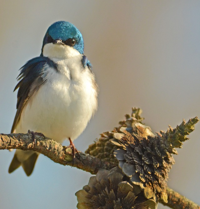 tree Swallow-Presque