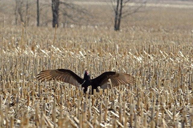Vulture-Sunning