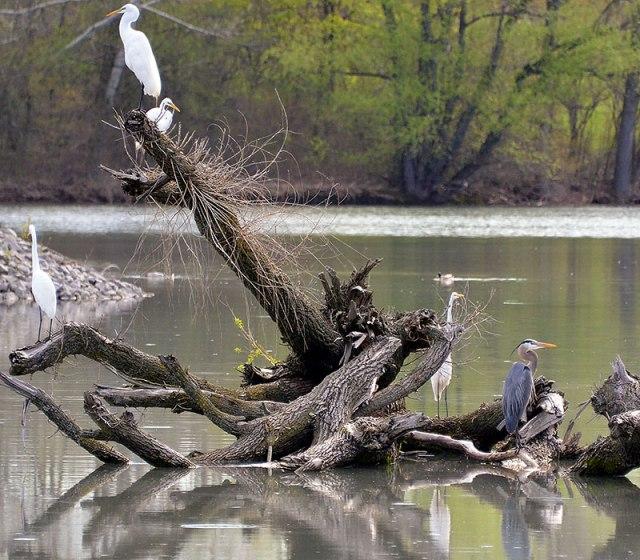 4-Egrets
