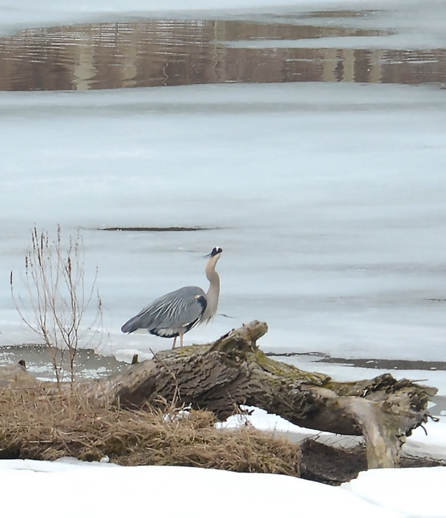 Blue-Heron-On-Blue-Ice