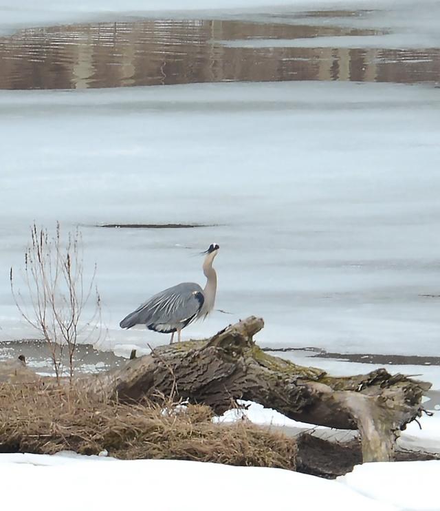 Blue-Heron-On-Blue-Ice
