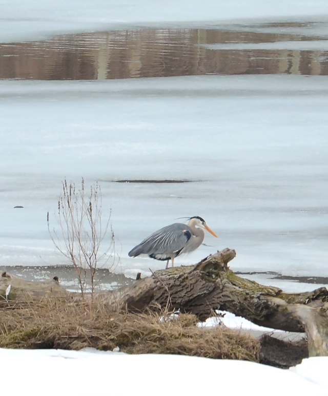 Blue-Heron-on-Ice
