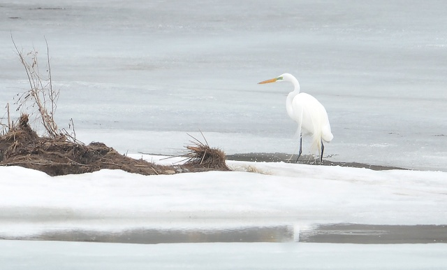 Egret-on-Ice
