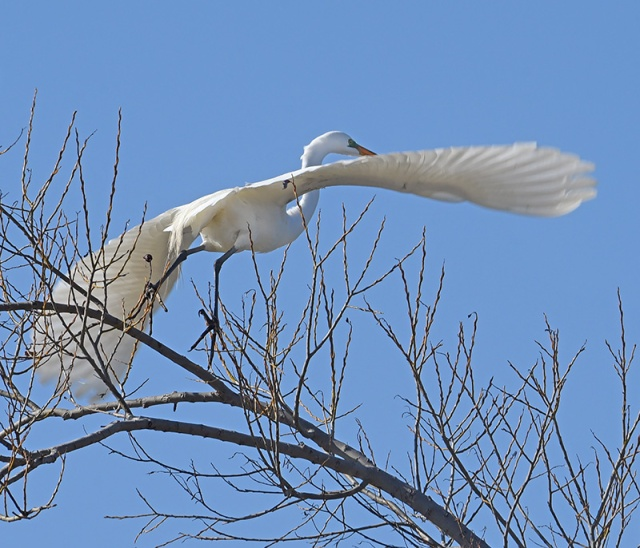 Egret-taking-Off