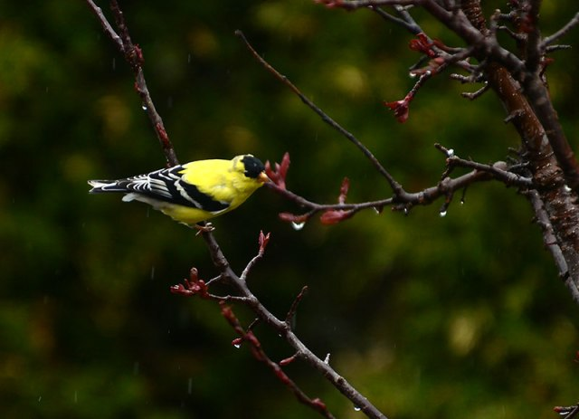 Goldfinch-in-Rain