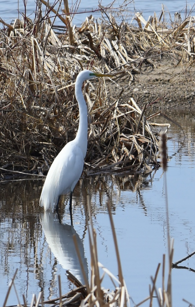 Great-Egret-4-13-15