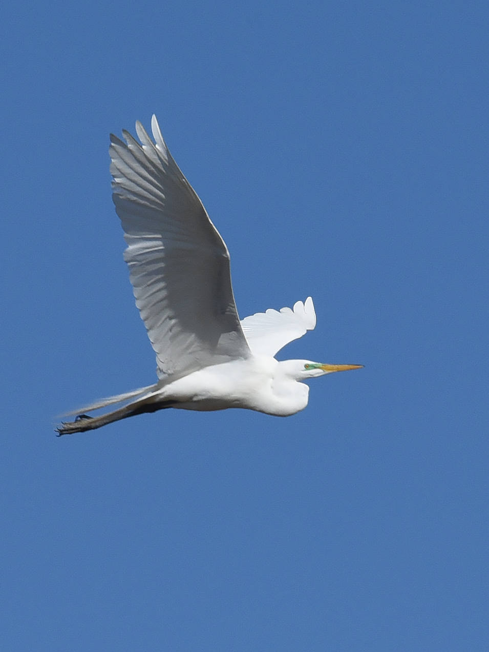 Great Egrets Always Have Somewhere Else to Be | Nature and ...