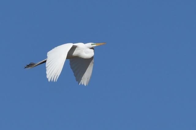Great-Egret-Flying
