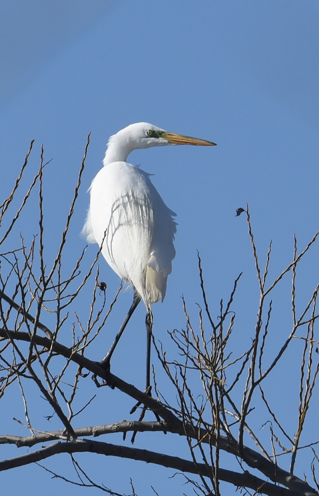 Great-Egret-in-Tree