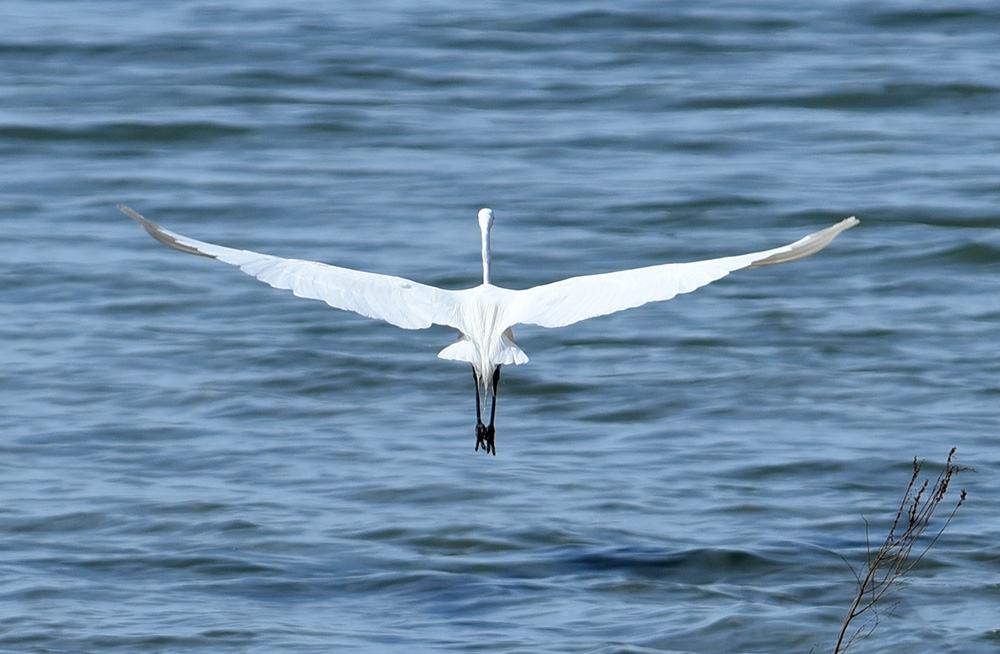 Great Egrets Always Have Somewhere Else to Be