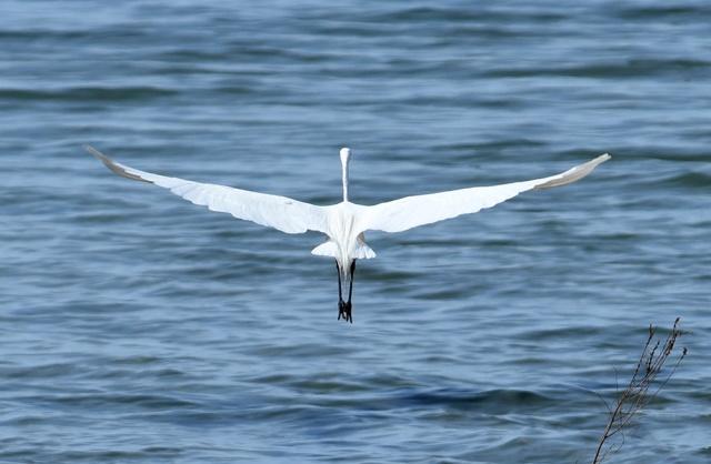 Great-Egret-Leaving-1