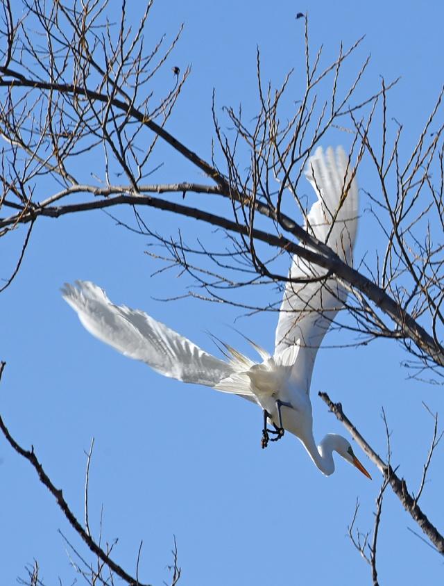Great-egret-Leaving