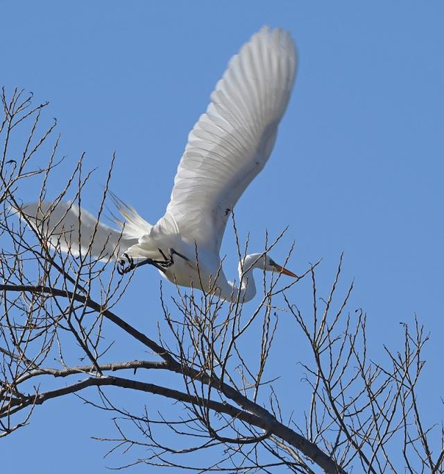 Great-Egret-Taking-Off
