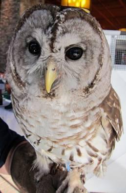 Hawk Mountain Barred Owl