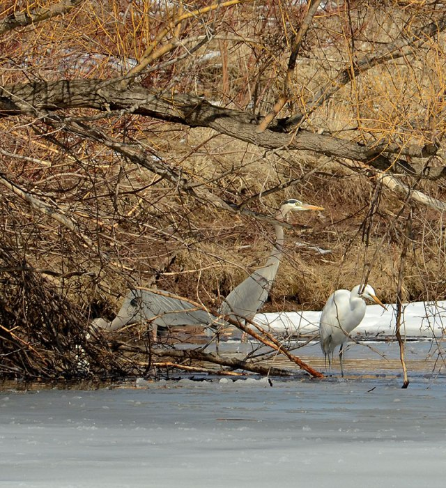 heron-and-egret