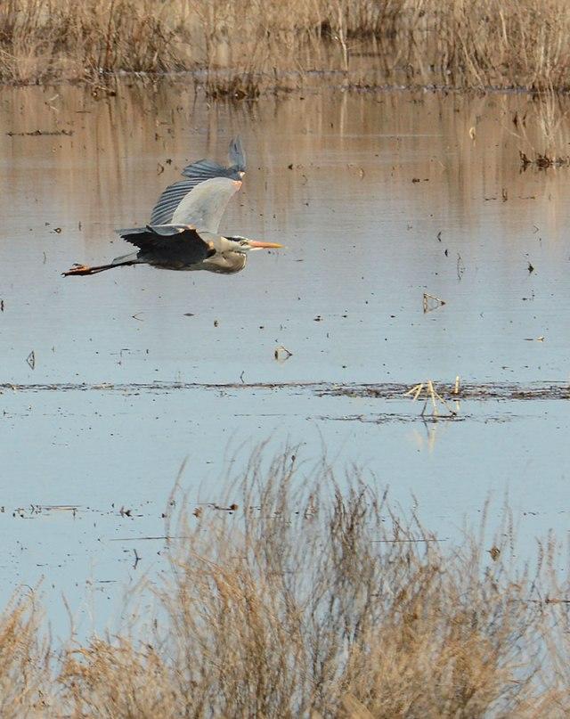 Heron-Iroquiose