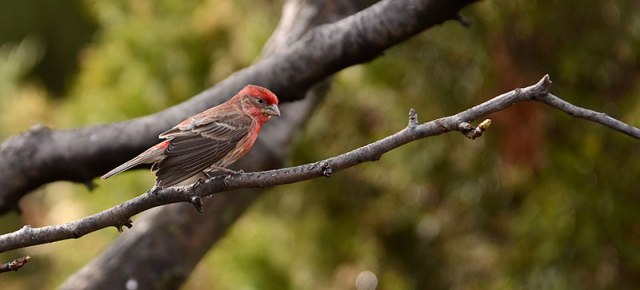 House-Finch-at-the-House