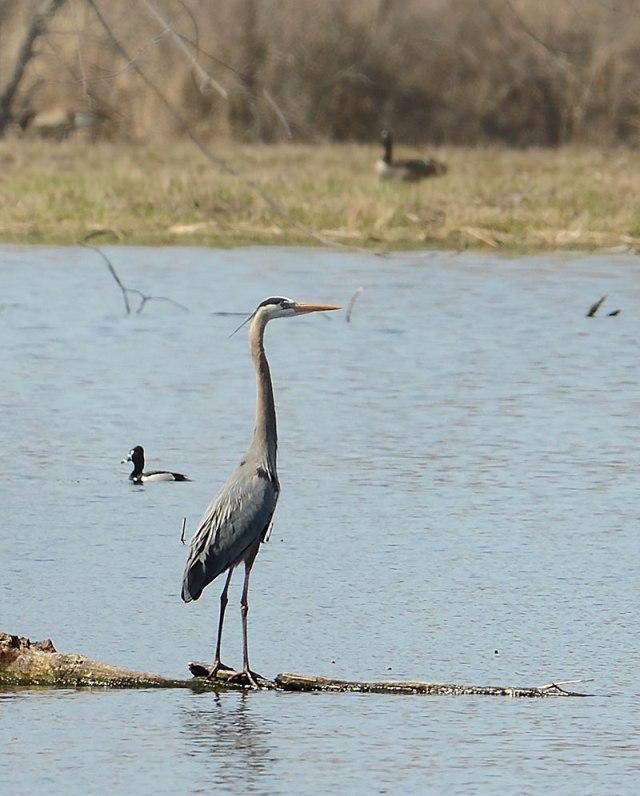 Iroquise-Heron