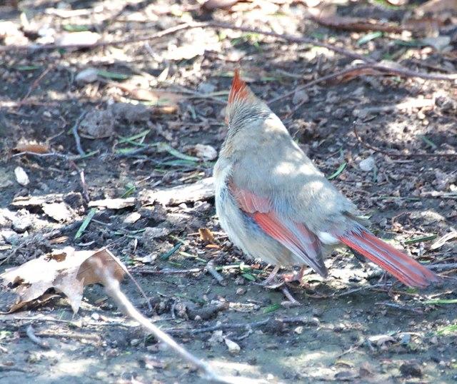 Leucistic-Cardinal-1