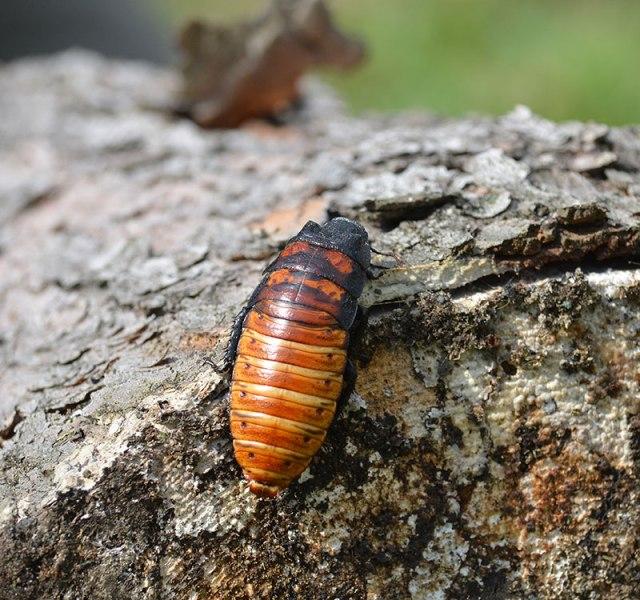 madagascarcockroach