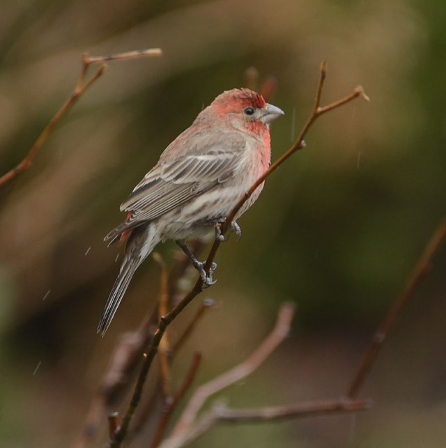 Male-House-Finch-in-Rain