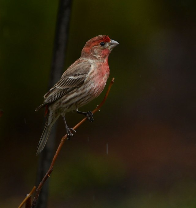 Male-House-Finch