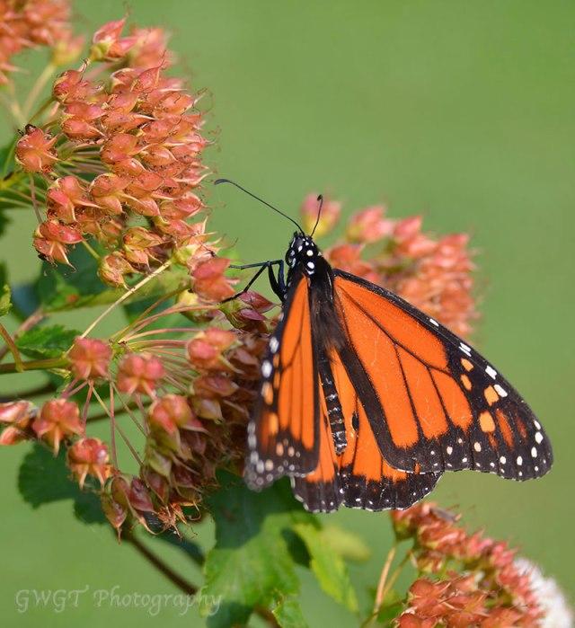 Monarch-11