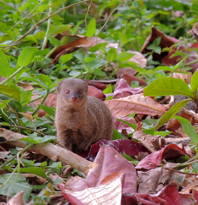 Invasive Species – The Mongoose