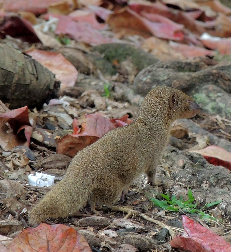 mongoose proliferation and control across hawaiian islands Often seen running across the road, the mongoose was brought to the hawaiian islands in 1883 to control rats however.