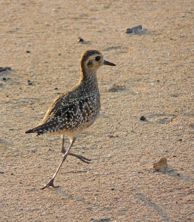 Pacific-Plover